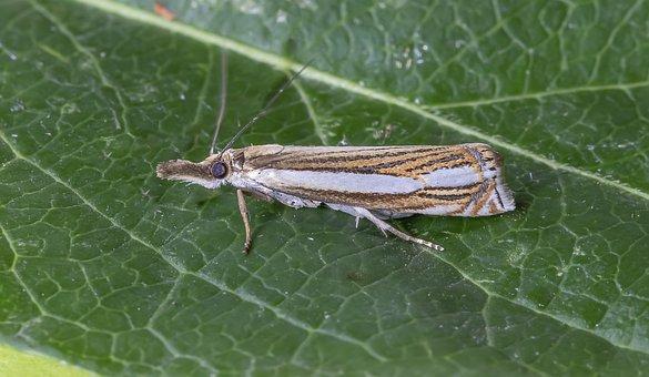 Wood Grass-veneer, Rare, Red-data-book, Moth, Macro