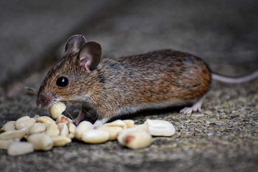 Wood Mouse, Rodent, Nager, Foraging, Mouse, Mammal