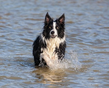 Collie In Water, Running Water, Border Collie