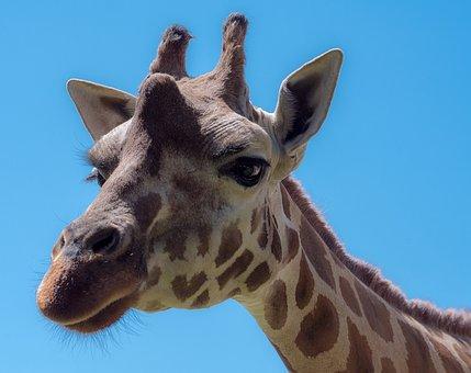 Giraffe, Animal, Safari, Africa, Zoo, Mammals, Mammal