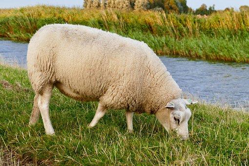 Sheep, Speed, Ditch, Grass, Farm, Wool, Cattle, Animal