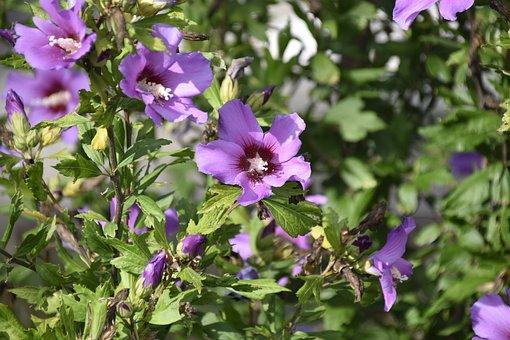 Flower Hibiscus, Color Purple, Shrub, Purple Flower