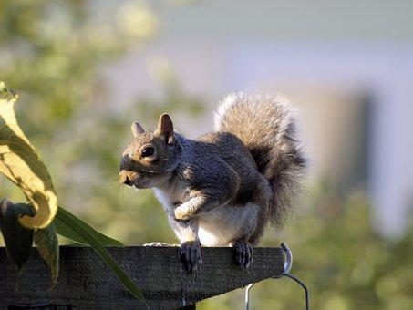 Squirrel, Grey, Cute, Animal, Nature, Eating