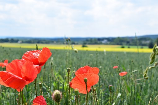 Poppy, Edge Of Field, Field, Nature, Summer, Red, Green