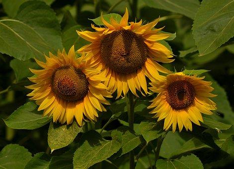 Sunflower, Three, Flower, Plant, Supplies, Yellow