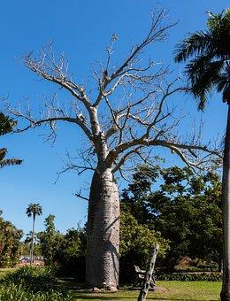 Tree, Boab Tree, Nature, Botanical