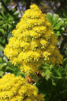 Aeonium, Tree Houseleek, Flower, Bright, Yellow, Bees