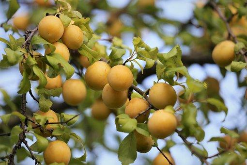 Red Plum, Fruit, Unripe, Branch, Tree, Summer, Nature