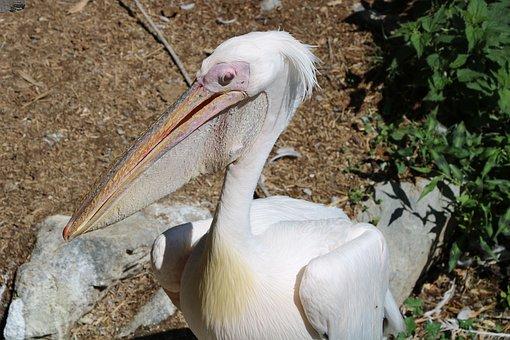 Pelican, Animal, Bird, Nature, Beak, Wild, Wing