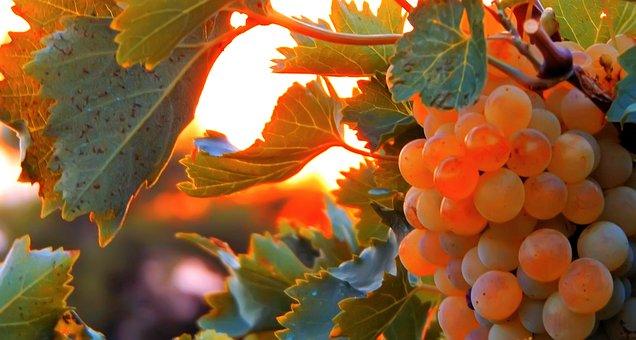 Vine, Vineyard, Grapes, Wine, Winegrowing, Grapevine