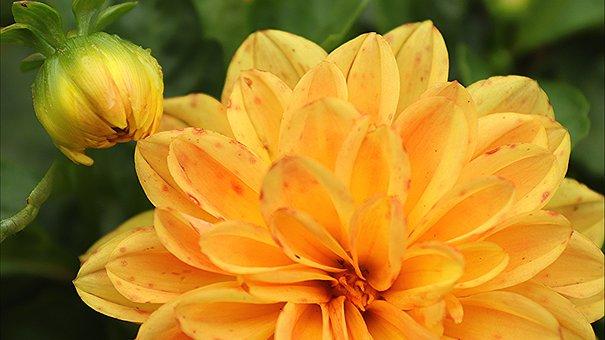 Dahlia, Yellow Flower, Blossom, Bloom, Bud, Petals
