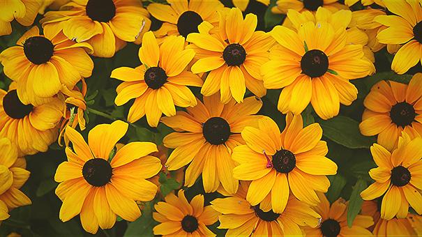 Coneflower Plant, Yellow Flower, Yellow Flowers