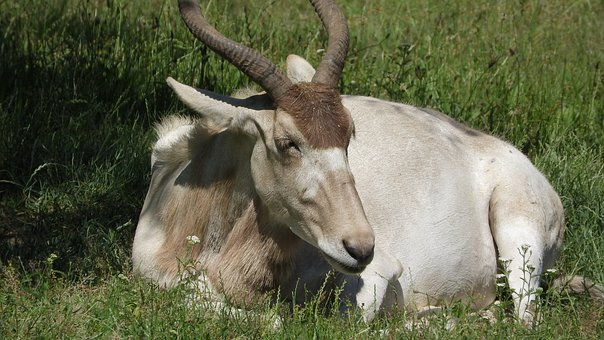 Addax, Addax Nasomaculatus, The Antelope, Long Horns