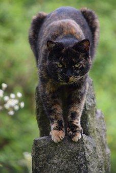 Tortoiseshell Cat, Animal, Cat, Feline, Domestic, Kitty