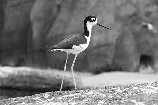 Black Neck-stilt, Stilt, Wader, Limicole, Long Legs
