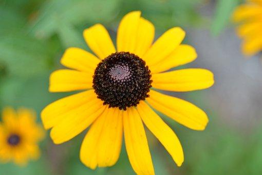 Black-eyed Susan, Spring, Flower, Yellow, Garden, Plant