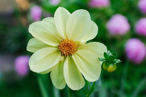 Dahlias, Dahlia, Flower, Bloom, Plant, Flora, Nature