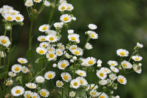 Erigeron Annuus, Meadow Flower, Blooming, Floral