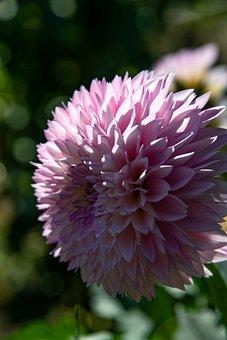 Dahlia, Flower, Blossom, Bloom, Plant, Nature, Garden