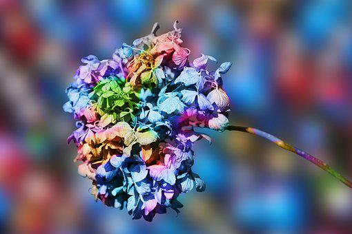 Hydrangea, Flower, Blossom, Bloom, Flora, Petals