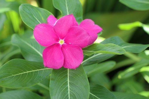Pink Flower, Green Leaves, Plant, Spring, Blossom