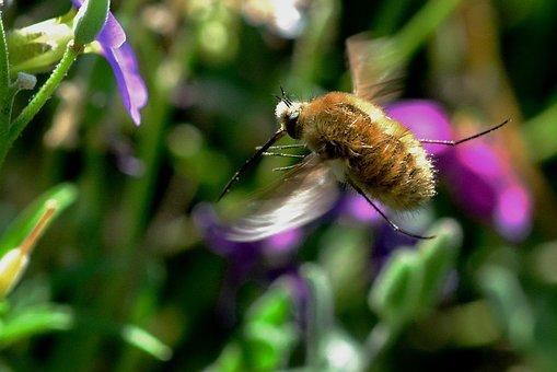 Bombyliidae, Fly, Hummelfliege, Garden, Proboscis