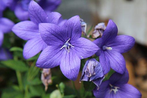 Flowering, Flowers Violet, Garden, Botany, Floral