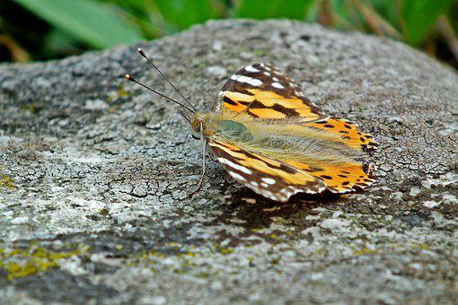Butterfly, Insect, Nature, Macro, Wings, Summer, Garden