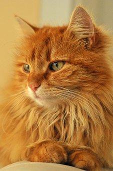 Kitten, Cat, Animal, Hair, Hairy, Yellow, Orange, Cute