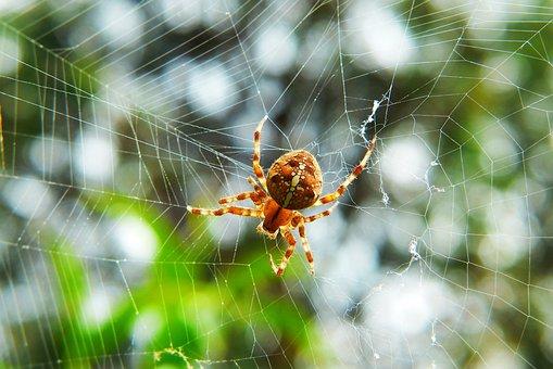 Crusader Garden, Female, Arachnid, Cobweb, Insect