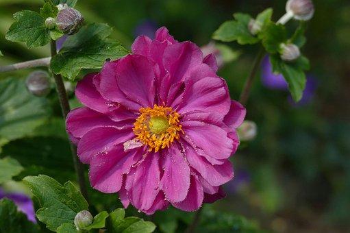 Fall Anemone, Deep Pink, Garden, Nature, Flowers