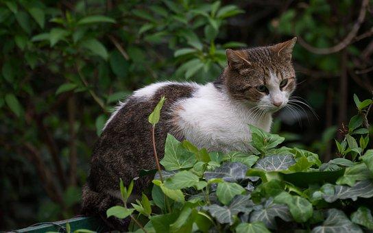 Cat, Fur, White And Grey, Pet, Domestic, Mammalian