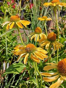 Coneflower, Echinacea, Yellow, Garden, Plant