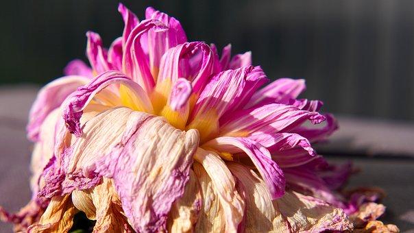Dahlia, Blossom, Bloom, Faded, Flower, Flora