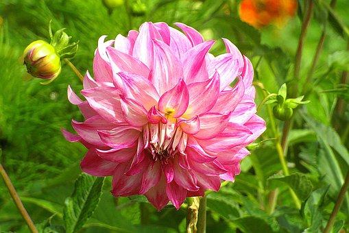 Dalia, Georgia, Pink, Perennial, Flower, Varicoloured