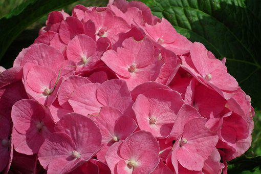 Hydrangea, Flower, Pink, Garden, Summer, The Petals