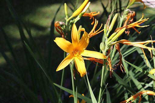 Summer, Sun, Garden, Lily, Yellow, Heat, Flower
