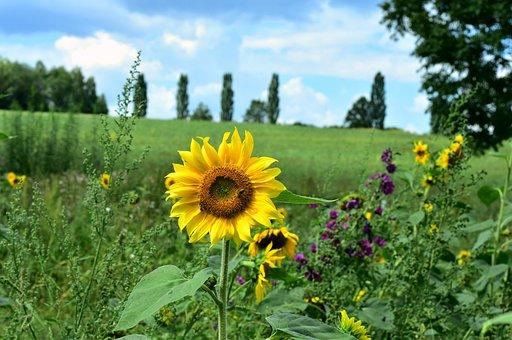 Sunflower, Flower, Summer, Yellow, Nature, Meadow