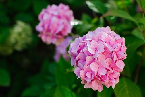 Hydrangea, Pink, Garden, Flower, Nature, Flowers, Bloom