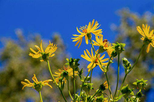 Aster, Mountain Aster, Flower, Yellow, Flowers, Nature