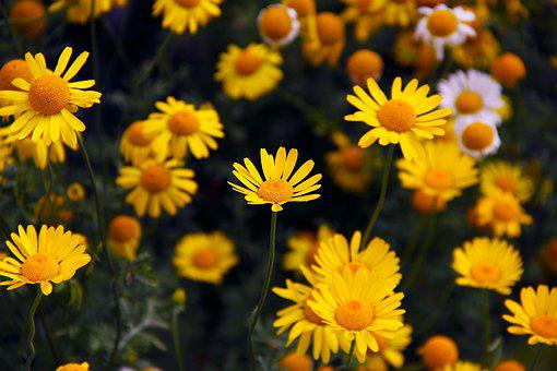Flowers, Daisies, Yellow, Plant, Garden, Floral, Meadow