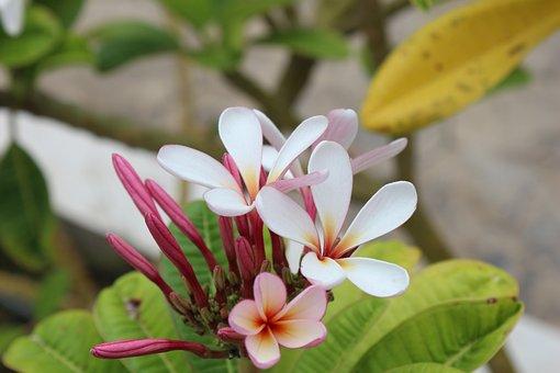 Plumeria, In, Frangipani, Flowers, Nature, Exotic