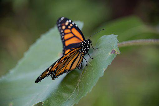 Monarch, Butterfly, Insect, Bug, Orange, Nature, Garden