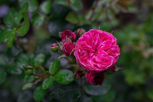 Rose, Garden Rose, Flower, Bloom, Nature, Beauty