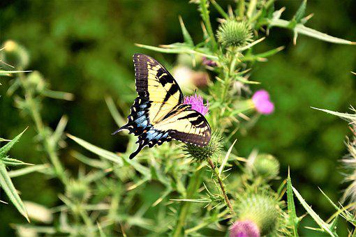 Butterfly, Large, Giant Swallowtail, Swallowtail