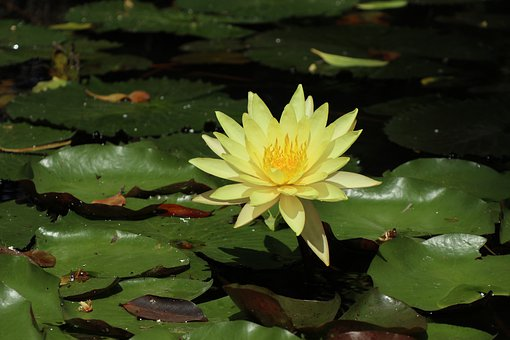 Bright Yellow Flower, Golden Lotus, Leaves, Pond