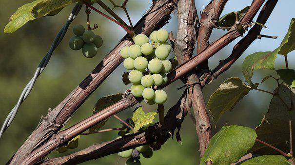 Bunch Of Grapes, Fruit, Spray, Vines, Grapes, Eating