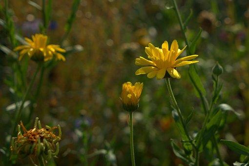 Garden, Meadow, Flower, Yellow, Field, Green, Grass