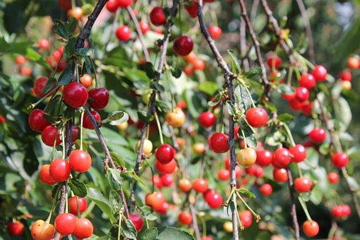 Cherry Blossom, Harvest, Ripe, Cherry Tree, Sour Cherry