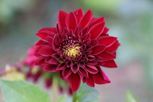 Dahlia, Crimson Red, Flowers, Plants, Horticulture